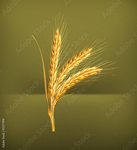Ears of wheat, vector