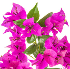 Bougainvillea flower over white background