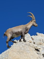 Master climber alpine ibex, rare wild animal