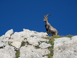 Cute young alpine ibex standing on a rock