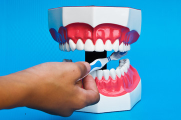 Showing how to brush teeth on a model on blue background