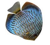 Discus for aquarium saltwater fish isolated poster