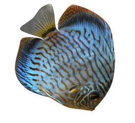 Discus for aquarium saltwater fish isolated
