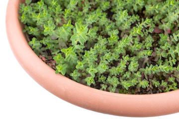 鉢植えのセイヨウオトギリソウ