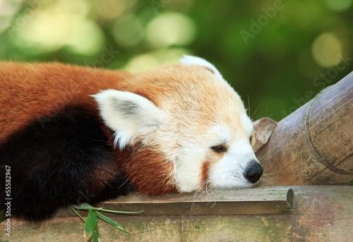 Panda roux faisant un petite sieste