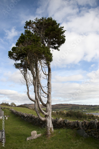 ancient tree standing alone in an Irish graveyard