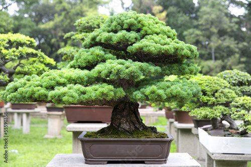 Fototapete the bonsai garden in suzhou china - Bonsai zimmerpflanze ...