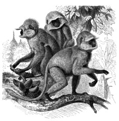 Monkeys : Semnopithecus - Entelle