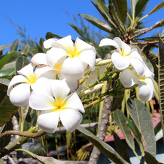 Fleurs de Frangipanier (Plumeria obtusa)