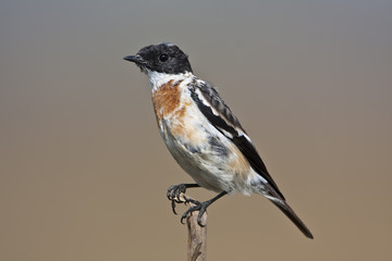 young common stonechat bird in metamorphosis time
