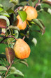 ripe yellow and red pears on tree