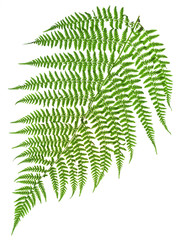 green sprig of fern
