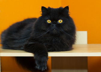 Male cat taking rest at orange background