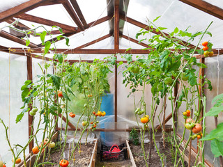 greenhouse with tomatoes