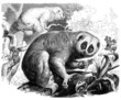 Loris - Tardigradus - Lemurien