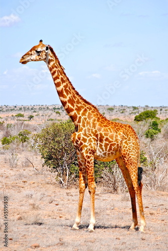 Africa - Kenya - Safari - Tsavo East National Park - Giraffa
