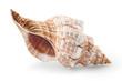 sea shell - 55596183