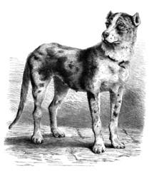 Dog : Great Dane - Dogue Danois (ou Allemand)