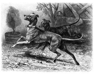 Italian Dog - Lévrier Italien