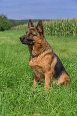Schäferhund Bix 5