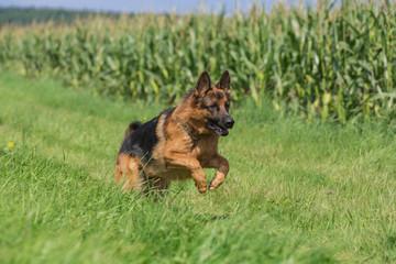 Schäferhund Bix 6