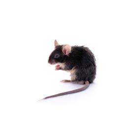 Keine, schwarze Maus