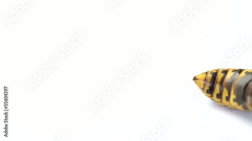 Wasp sting  isolated on white background