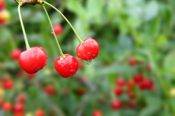 Red cherries with droplets on green background
