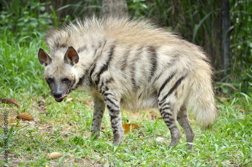 Papiers peints Hyène Striped hyena