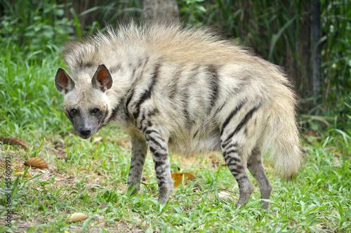 Fotobehang Hyena Striped hyena