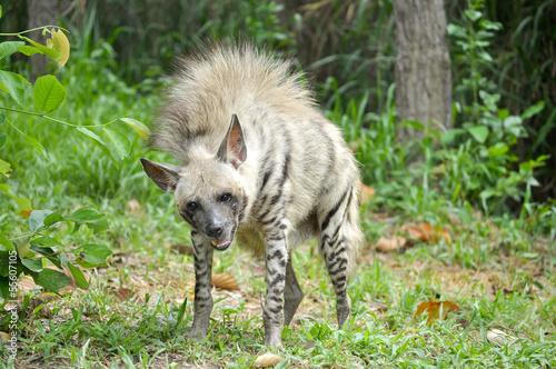 Canvas Hyena Striped hyena