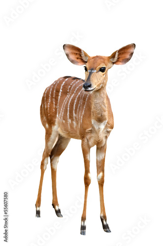 female nyala isolated