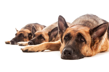 Three German Shepherds relaxing on the floor
