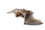 bat with open wings on white