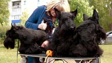 Three Scottish Terrier before the show