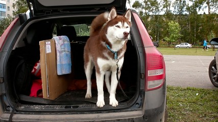 alaskan malamute in car