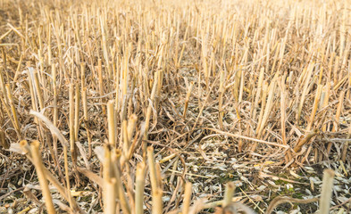 Stubble and chaff after wheat harvesting
