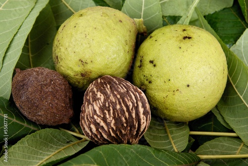 fruits of black walnut tree Juglans nigra