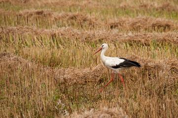Walked stork