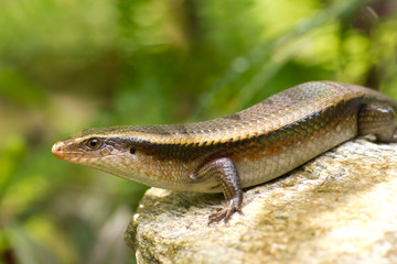 Variable Skink resting on rock elevated view