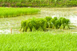 growing rice in farm