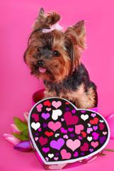 lovely yorkshire dog in heart shape box