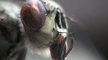 head horsefly macro