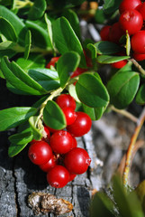 The ripe berries of cowberries.