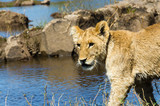 Lion cub near the Zambezi River
