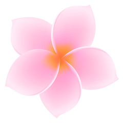 Tropical Pink Plumeria / Frangipani. Asian flower. Summer symbol