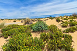 Sardinia - flowered dune in Piscinas