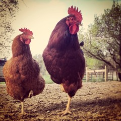 Two chicken