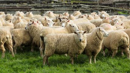 Ewe Sheeps