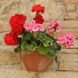 pink and red geranium flowers in pot on brick wall